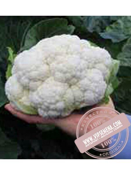 Альтамира F1 (Altamira F1) семена цветной капусты Bejo, оригинальная упаковка (2500 семян, сортированные)