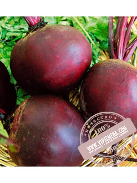 Боро F1 (Boro F1) семена свеклы столовой Bejo, оригинальная упаковка (10000 семян прецизионные)