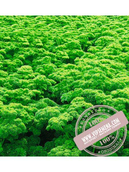 Петра (Petra) семена петрушки кудрявой Bejo, оригинальная упаковка (50-грамм)