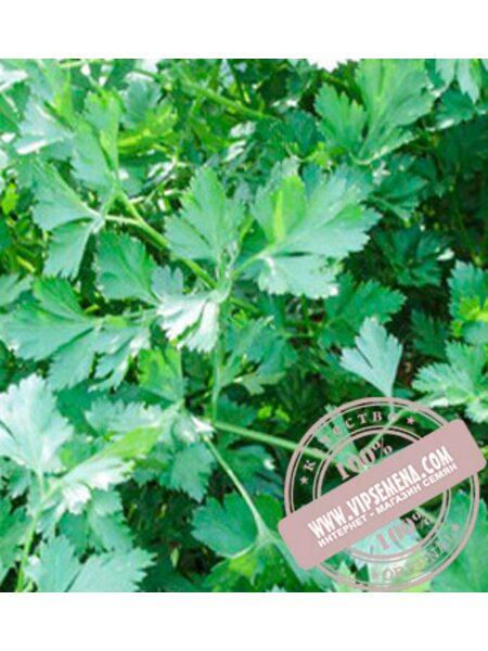 Риалто (Rialto) семена петрушки листовой Bejo, оригинальная упаковка (50-грамм)