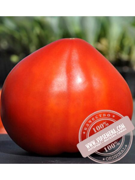 Сарра F1 (Sarra F1) семена томата красного, индетер, Clause, оригинальная упаковка (250 семян)