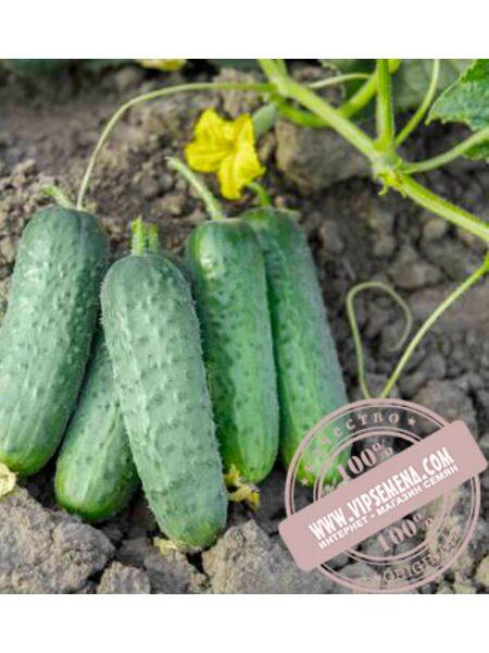 Проликс F1 (Prolix F1) семена огурца партенокарпического Nunhems, оригинальная упаковка (1000-семян)