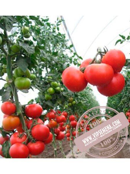 Аксай (Aksay) семена томата полудетерминантного Nunhems, оригинальная упаковка (500-семян)