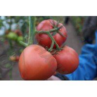 Мей Шуай F1 (МейШуай F1) семена томата индет. розового Seminis, оригинальная упаковка (500 семян)