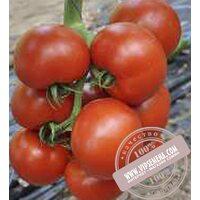 Чероки F1 (Cheroki F1) семена индетерминантного томата Esasem, оригинальная упаковка (250 семян)