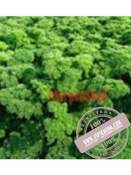 Астра (Astra) семена корневой петрушки Moravoseed, оригинальная упаковка (100 грамм)