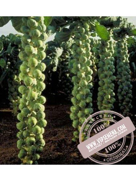 Долорес F1 (DOLORES F1) семена капусты брюссельской Moravoseed, оригинальная упаковка (2500 семян)