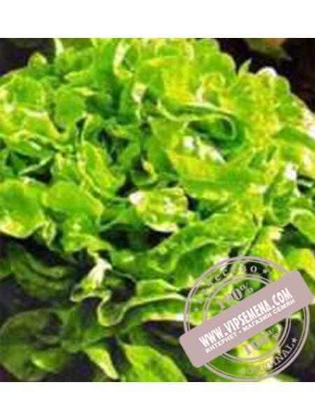 Дубачек (Dubachok) семена Дуболистного салата  Moravoseed, оригинальная упаковка (5000 семян)
