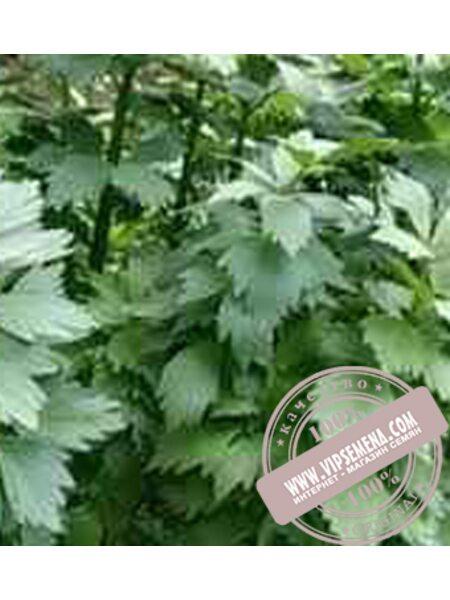 Эмна (Emna) семена листового сельдерея Moravoseed, оригинальная упаковка (10000 семян)