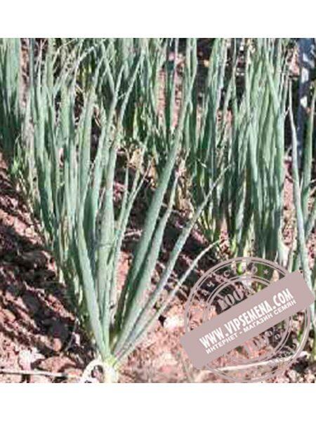 Энтита (Entita) семена лука на перо Moravoseed, оригинальная упаковка (25000 семян)
