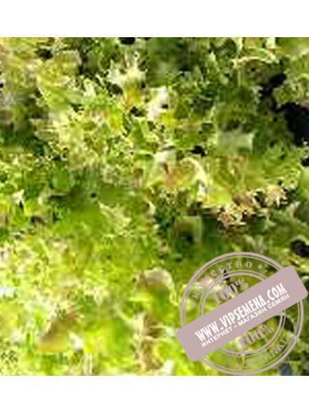 Мерлот (Merlot) семена салата Лолло Росса Moravoseed, оригинальная упаковка (10000 семян)