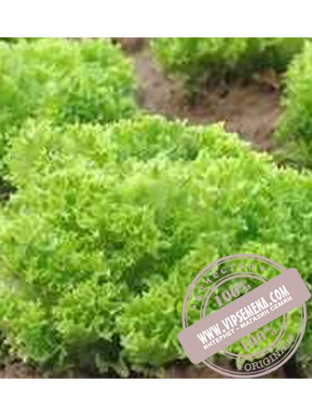 Рекорд (Rekord) семена Лолло Бионда салата Moravoseed, оригинальная упаковка (10000 семян)