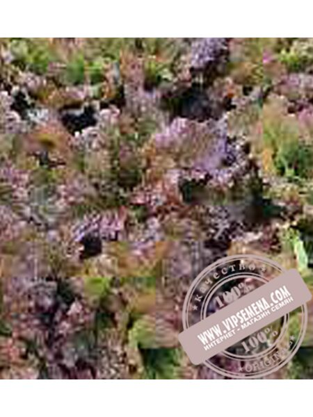 Росела (Rosela) семена Батавия салата Moravoseed, оригинальная упаковка (10000 семян)