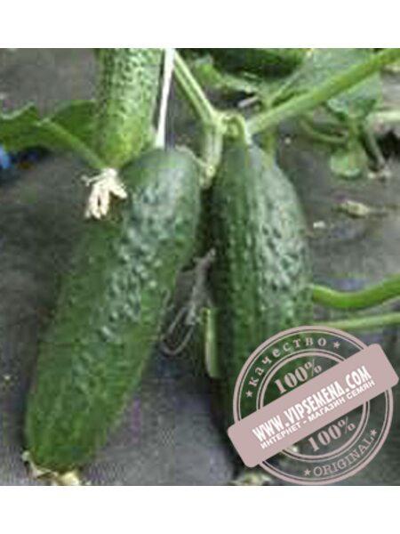 Толстой F1 (Tolstoj F1) семена огурца партенокарпического Moravoseed, оригинальная упаковка (500 семян)