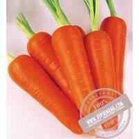 Абако F1 ǿ 2,0 и более (Abaco) семена моркови типа Шантане Seminis, оригинальная упаковка (1 млн. семян)