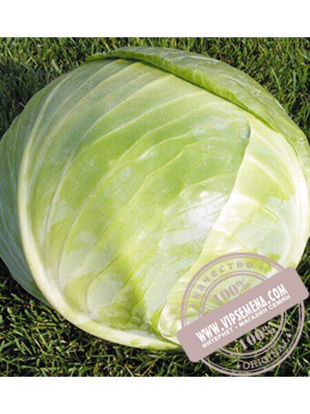 Арривист F1 (Arrivist) семена капусты белокочанной Seminis, оригинальная упаковка (2500 семян)
