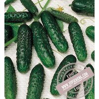 Masha F1 (Маша) семена огурца-корнишона партенокарпического Seminis, оригинальная упаковка (1000 семян)