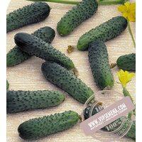Merengue F1 (Меренга) семена огурца-корнишона партенокарпического Seminis, оригинальная упаковка (250 семян)