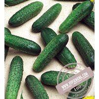 Mirabelle F1 (Мирабелл) семена огурца-корнишона партенокарпического Seminis, оригинальная упаковка (250 семян)