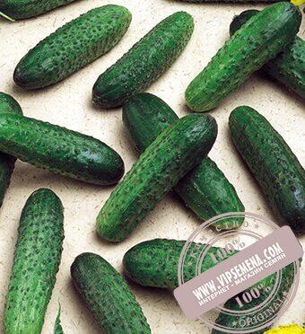 Mirabelle F1 (Мирабелл) семена огурца-корнишона партенокарпического Seminis