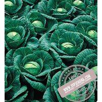 Ринда F1 (Rinda) семена капусты белокочанной Seminis, оригинальная упаковка (2500 семян)