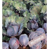 Рокси F1 (Roxy) семена капусты краснокочанной Seminis, оригинальная упаковка (2500 семян)