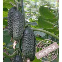 SV 3506 CV F1 (СВ 3506 ЦВ F1) семена огурца-корнишона партенокарпического Seminis, оригинальная упаковка (1000 семян)