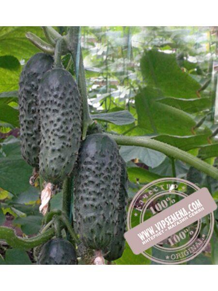 SV 3506 CV F1 (СВ 3506 ЦВ F1) семена огурца-корнишона партенокарпического Seminis, оригинальная упаковка (250 семян)