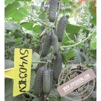 SV 4097 CV F1 (СВ 4097 ЦВ F1) семена огурца-корнишона партенокарпического Seminis, оригинальная упаковка (250 семян)