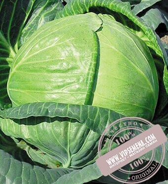 Тобия F1 (Tobia) семена капусты белокочанной Seminis, оригинальная упаковка (2500 семян)