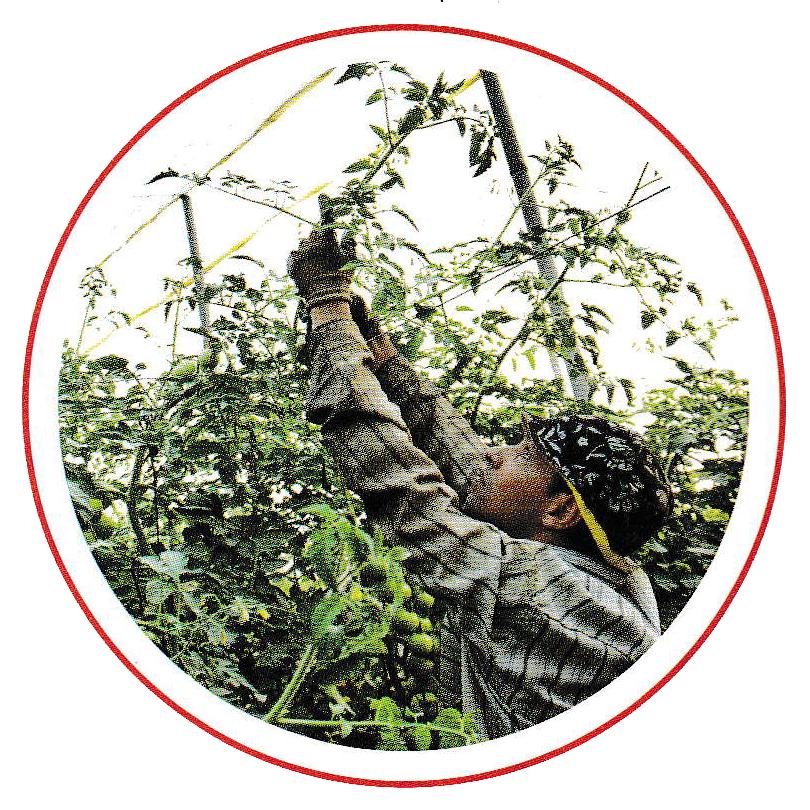 Особенности выращивания томатов в теплице на даче